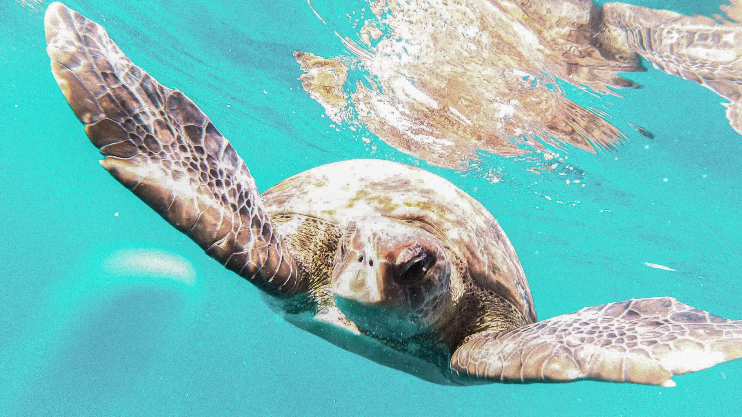 Rencontre sous l'eau avec une tortue en snorkelling